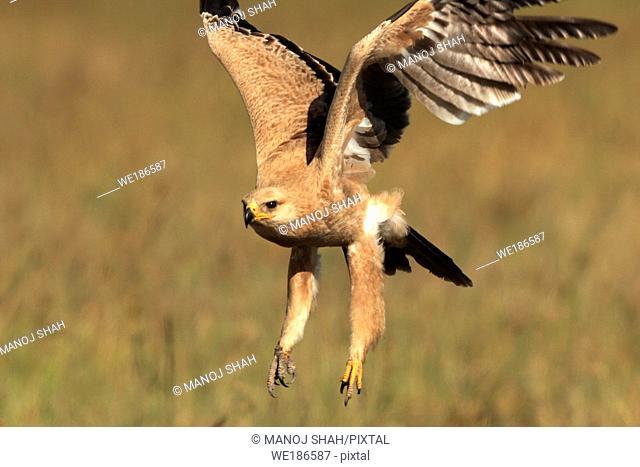 Tawny eagle Masai Mara National Reserve, Kenya