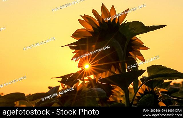 06 August 2020, Baden-Wuerttemberg, Uttenweiler: The sun shines shortly after sunrise through a field of sunflowers. Photo: Thomas Warnack/dpa