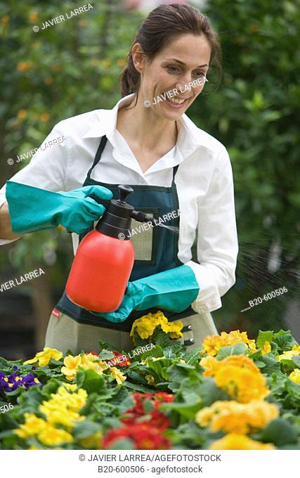 Gardener watering flowerpots with pansies, Garden, Tree nursery. Gipuzkoa, Euskadi. Spain