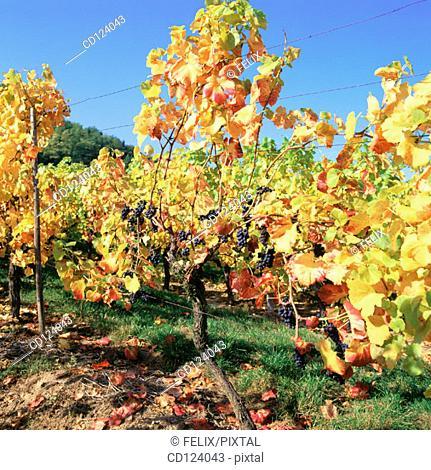 Vineyards. Alsatian Wine Road. France
