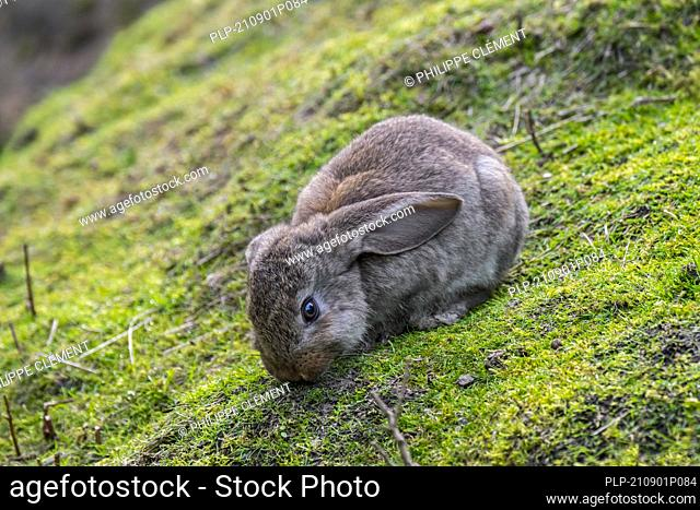 Meissner lop, German breed of domestic rabbit with drooping ears grazing grass