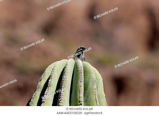 Black-throated Sparrow (Amphispiza bilineata) Espiritu Santo Baja Mexico Saturday, March 03, 2007 digital capture