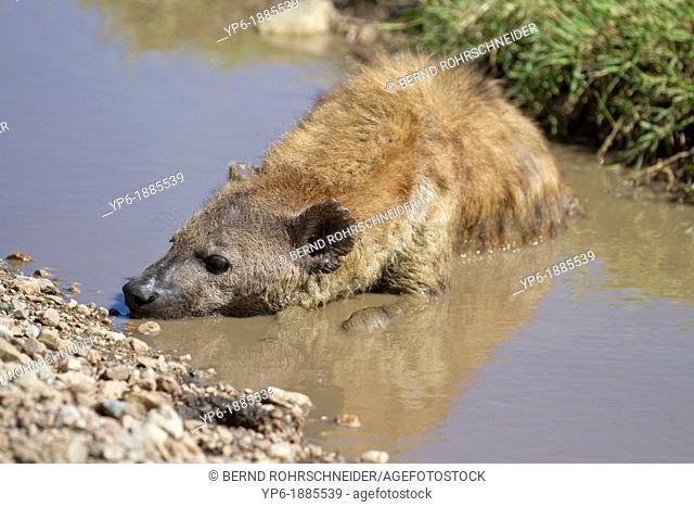 Spotted Hyena Crocuta crocuta cooling in water, Serengeti National Park, Tanzania
