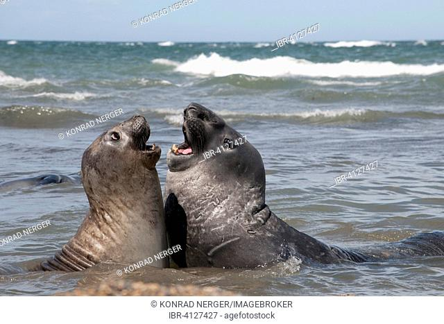Southern elephant seals (Mirounga leonina) in a mock battle, near Punta Ninfas, Argentina