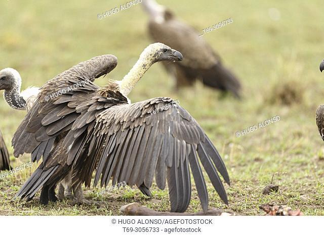 White-backed vulture. Gyps africanus. Kenia. Africa