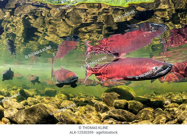 Chinook Salmon, also known as King Salmon (Oncorhynchus tshawytscha) schooled in a holding pattern prior to spawning in a tributary of the Deshka River
