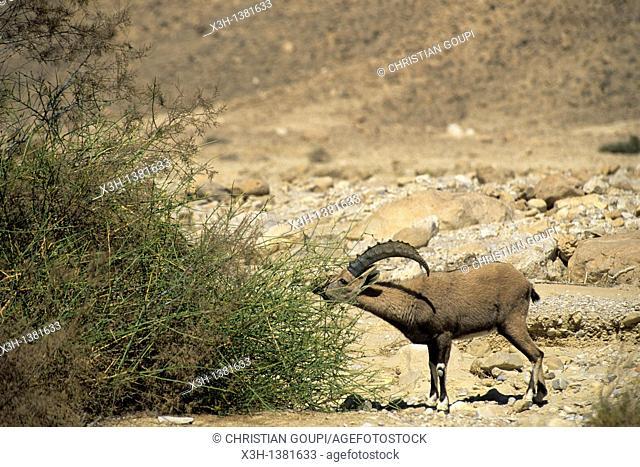 Nubian Ibex in the Wadi Nekarot, Negev, Israel, Middle East, Western Asia