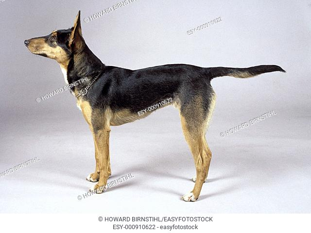 studio image of an alert obedient kelpie dog with pointing nose and tail