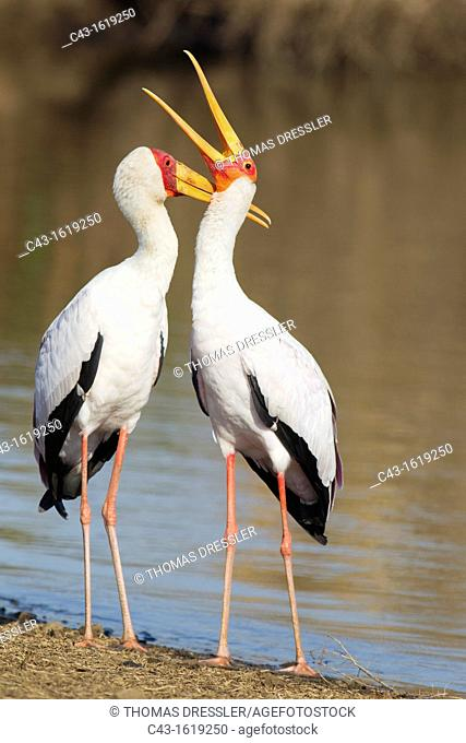 Yellow-billed Stork Mycteria ibis - Loving pair male on the left during the breeding season at the lakeshore  Sunset Dam, Kruger National Park, South Africa