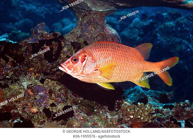 Sabre squirrelfish (Sargocentron spiniferum). Maldives