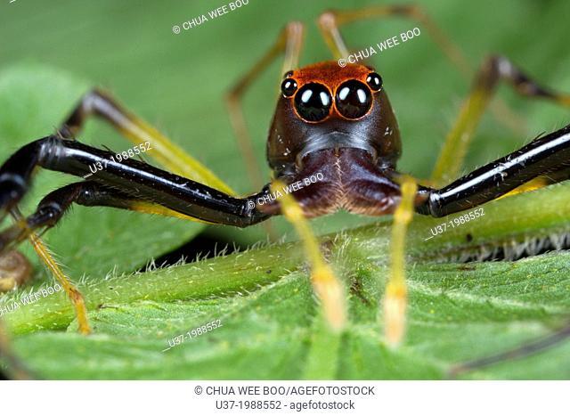Jumping spider Salticidae. Image taken at Kampung Satau, Malaysia
