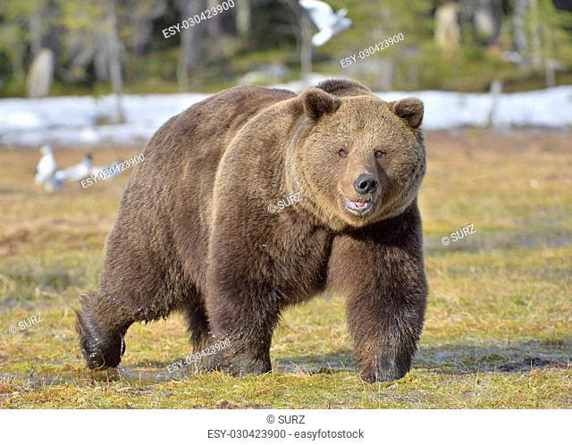Brown Bear (Ursus arctos) male walking on the bog in spring forest