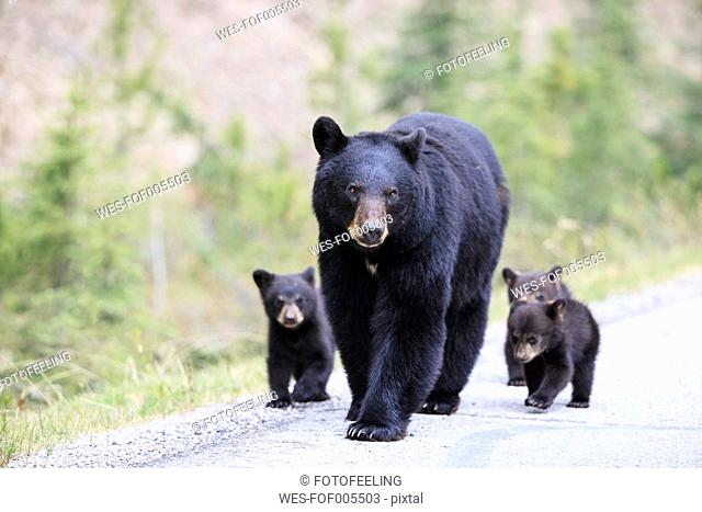 Canada, Rocky Mountains, Alberta. Jasper National Park, American black bear (Ursus americanus) with bear cubs walking on a road