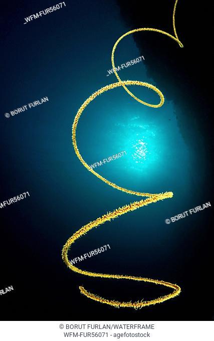 Spiral Wire Coral, Cirrhipathes spiralis, Pantar, Alor Archipelago, Lesser Sunda Islands, Indonesia
