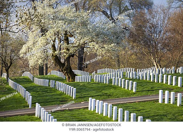 Blossoming Cherry Trees stand guard over rows of tombstones at Arlington National Cemetery, Arlington, Virginia, USA