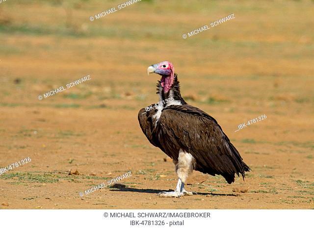 Nubian Vulture (Aegypius tracheliotus), Erindi Reserve, Namibia