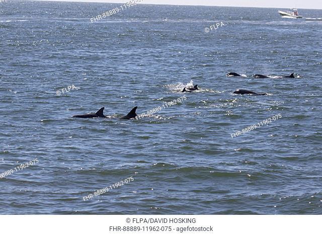 Atlantic Bottlenose Dolphins - Cape May East Coast USA