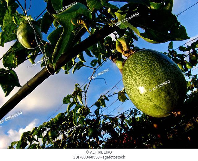 Irrigated orchard, passion fruit, Valley São Francisco River, Petrolina, Pernambuco, Brazil
