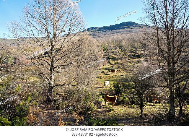 Cattle in the Tinada  Sierra Norte  El Cardoso de la Sierra  Guadalajara  Castilla la Mancha  Spain