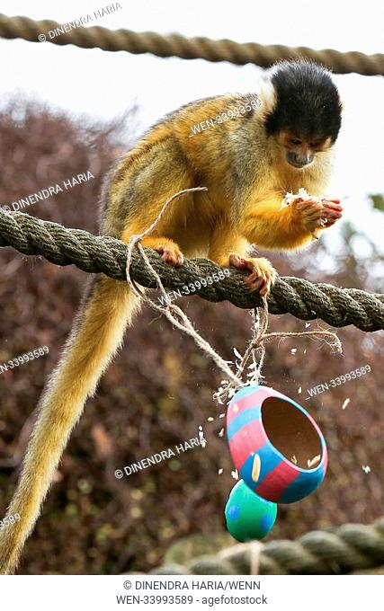 Lemurs and squirrel monkeys hunt for their colourful papier mache eggs hanging all over their enclosure, filled with tasty snacks