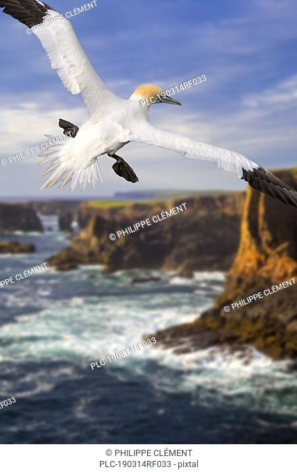 Northern gannet (Morus bassanus) flying in front of sea cliffs at Eshaness at during approaching storm, Northmavine, Shetland Islands, Scotland, UK