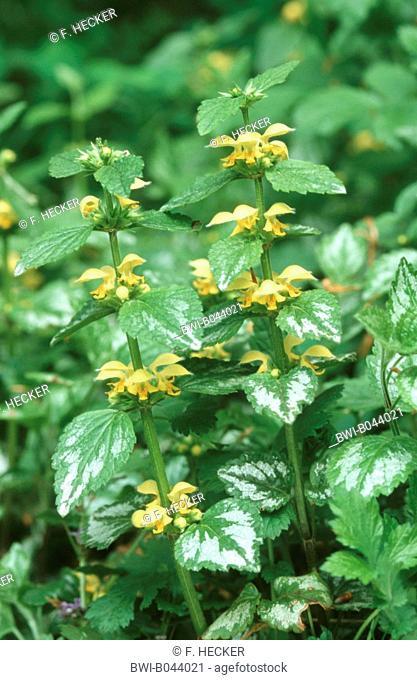 Yellow Archangel (Lamium argentatum. Galeobdolon luteum fo. argentatum), blooming