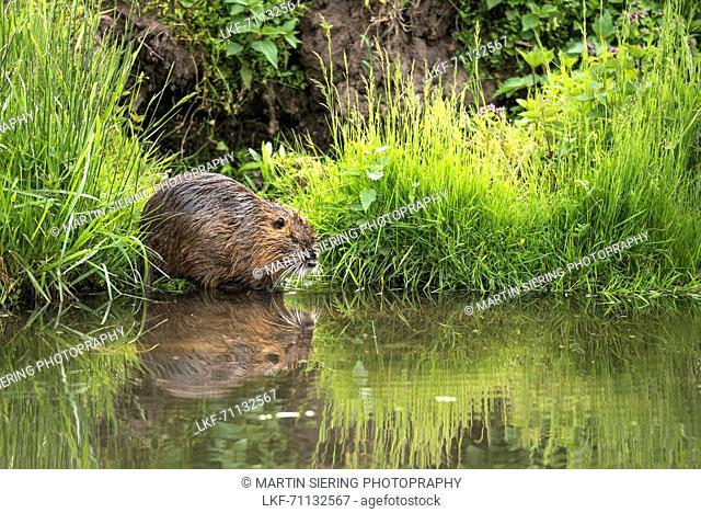 Nutria, river rat along the river banks, Biosphere Reserve, Cultural Landscape, River, Spreewald Brandenburg, Germany
