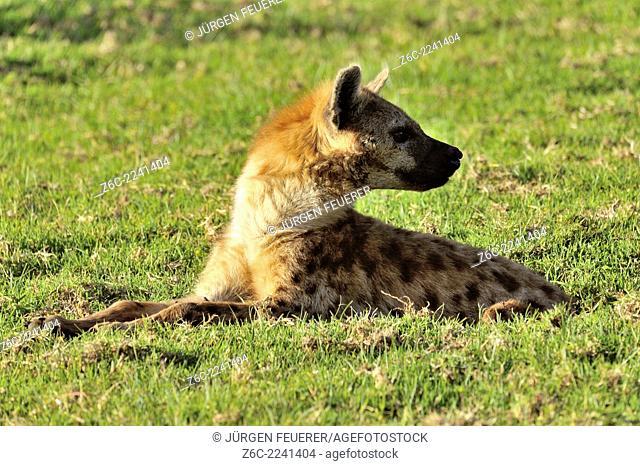 Spotted Hyena, Crocuta crocuta, Aberdare National Park, Kenya