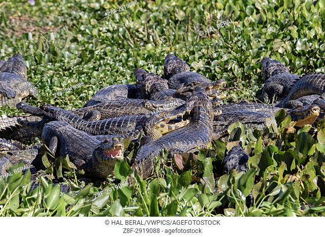 Dry season forces Yacare Caimans together where water remains (Caiman yacare) Pantanal, Brazil