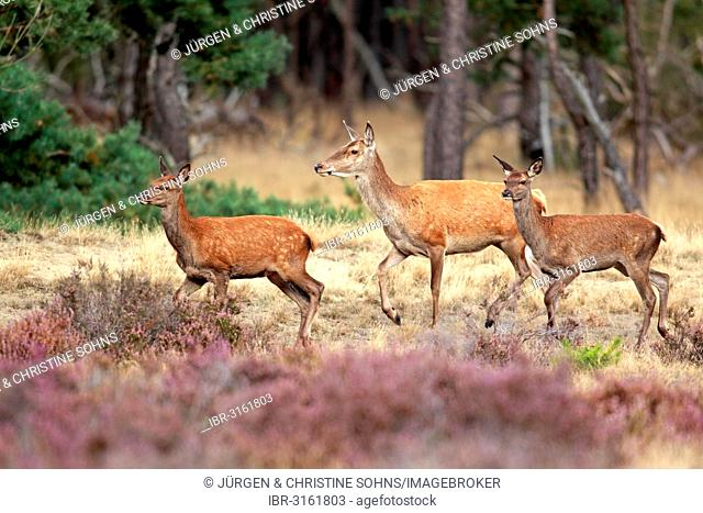 Red Deer (Cervus elaphus), adult hinds, Hoge Veluwe National Park, Gelderland, The Netherlands