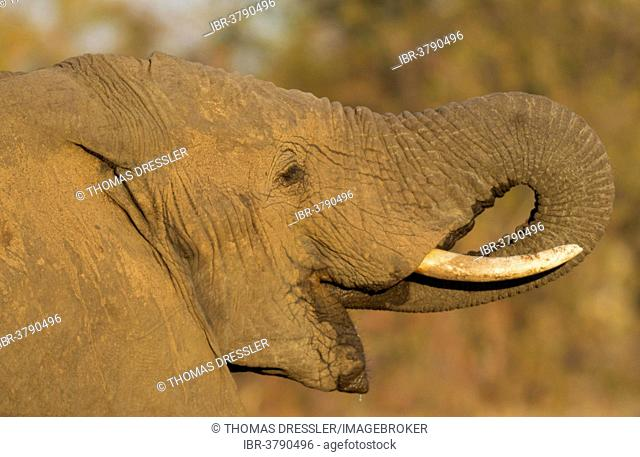 African Elephant (Loxodonta africana), bull drinking, Kruger National Park, South Africa