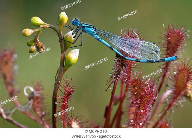 common coenagrion, azure damselfly (Coenagrion puella), caught by a sundew, Germany, Lower Saxony