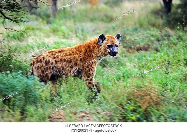 Spotted Hyena, crocuta crocuta, Adult at Masai Mara Park in Kenya