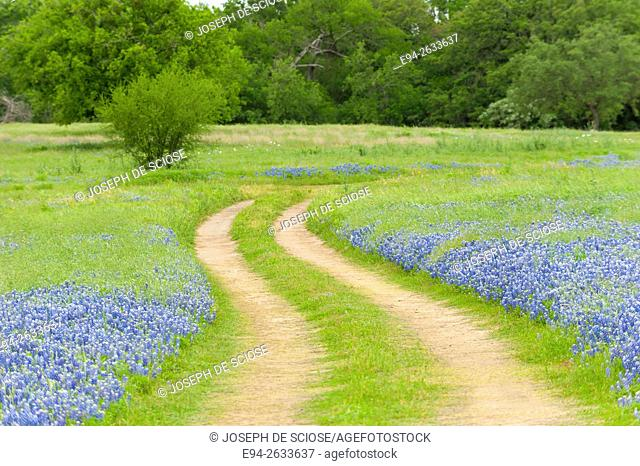 Dirt road cutting through a field of bluebonnet wildflowers at the Muleshoe recreation area in Texas in the spring
