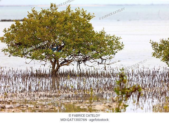Qatar - Al Ruwais - Mangrove