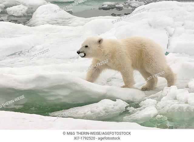 Polar bear cub Ursus maritimus carrying a piece of ice, Svalbard Archipelago, Barents Sea, Norway