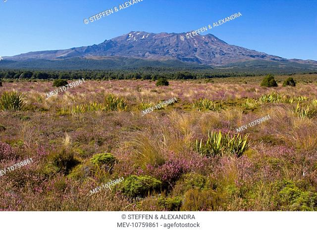 Mount Ruapehu - blooming heather in autumn with Mount Ruapehu, which is the highest mountain on the North Island, rising up out of the plains