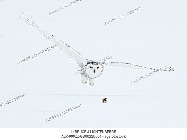 Female Snowy Owl swoops down to catch a lemming on top of the snow, Saint-Barthelemy, Quebec, Canada, Winter