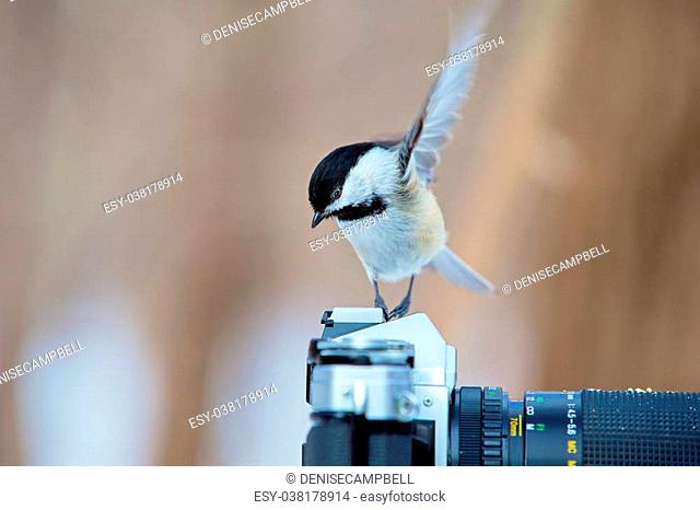 The black-capped chickadee is a small, non migratory, North American songbird that lives in deciduous and mixed forests. It is a very underrated friendly bird...