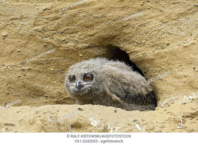 Eurasian Eagle Owl ( Bubo bubo ), young chick, sitting in front of its nesting site in a sand pit, wildlife, Europe.