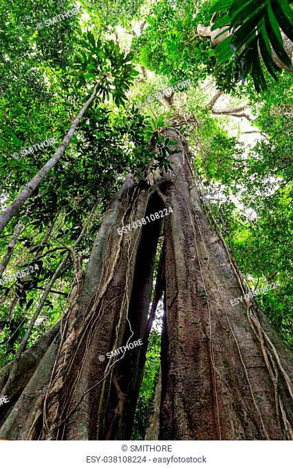 The huge 500 years old Banyan tree in the Ko Kood island forest, Thailand