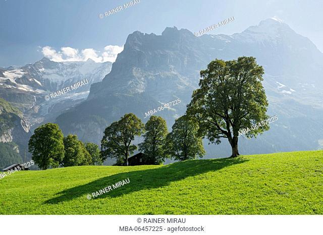 Harewood, north face of the Eiger, mountain Mätten, Große Scheidegg, Grindelwald, the Bernese Oberland, Switzerland