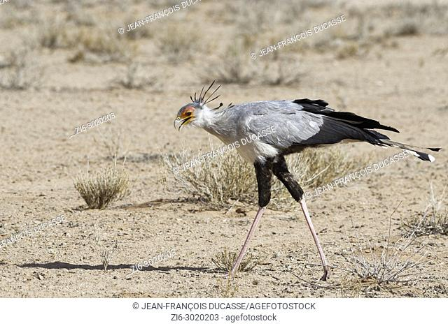 Secretary bird (Sagittarius serpentarius), adult, looking for prey, concentrated, Kgalagadi Transfrontier Park, Northern Cape, South Africa, Africa