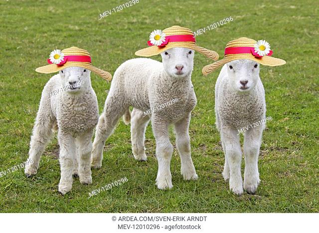 Domestic Sheep, lambs wearing Easter Bonnets / straw hats
