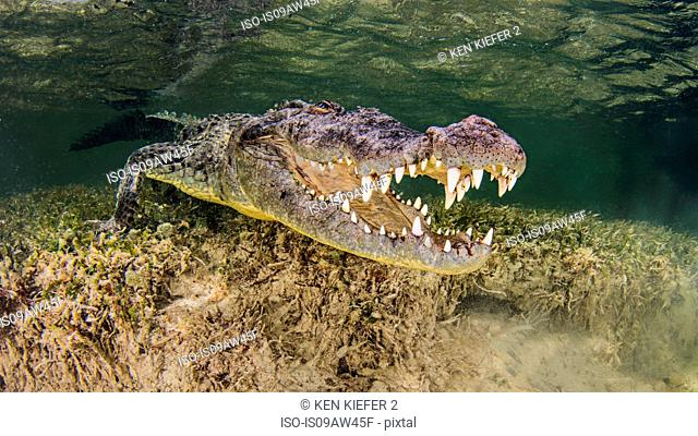 Underwater view American crocodile on seabed, mouth open