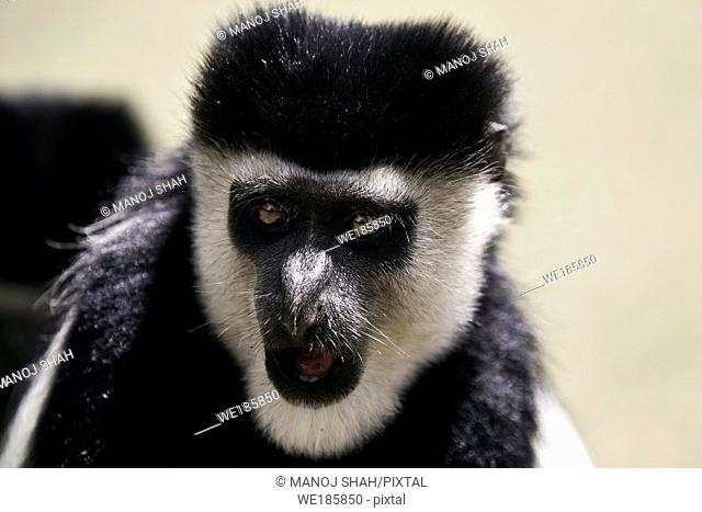 Abyssinian Black and White Colobus Monkey