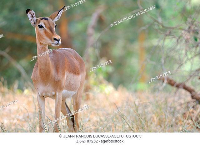 Impala, (Aepyceros melampus), Kruger National Park, South Africa, Africa