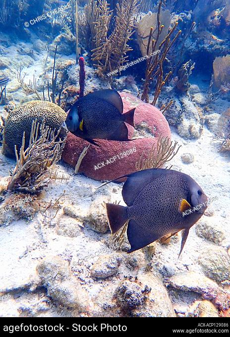 French angelfish, Pomacanthus paru, Belize reef