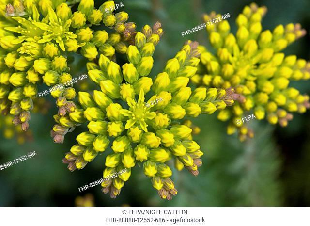 Sedum reflexum 'Blue Cushion' a rockery plant with yellow flowers and flowerbuds, June