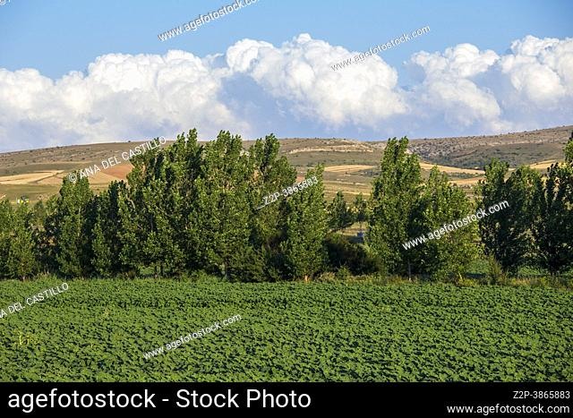 Green lines of the plantation are not yet blossoming sunflower El Pobo Teruel Aragon Spain